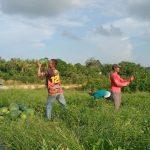 Petani Semangka di Karimun Keluhkan Pemasaran Hasil Panen